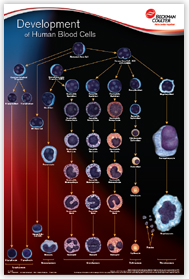 Development of Human Blood cells